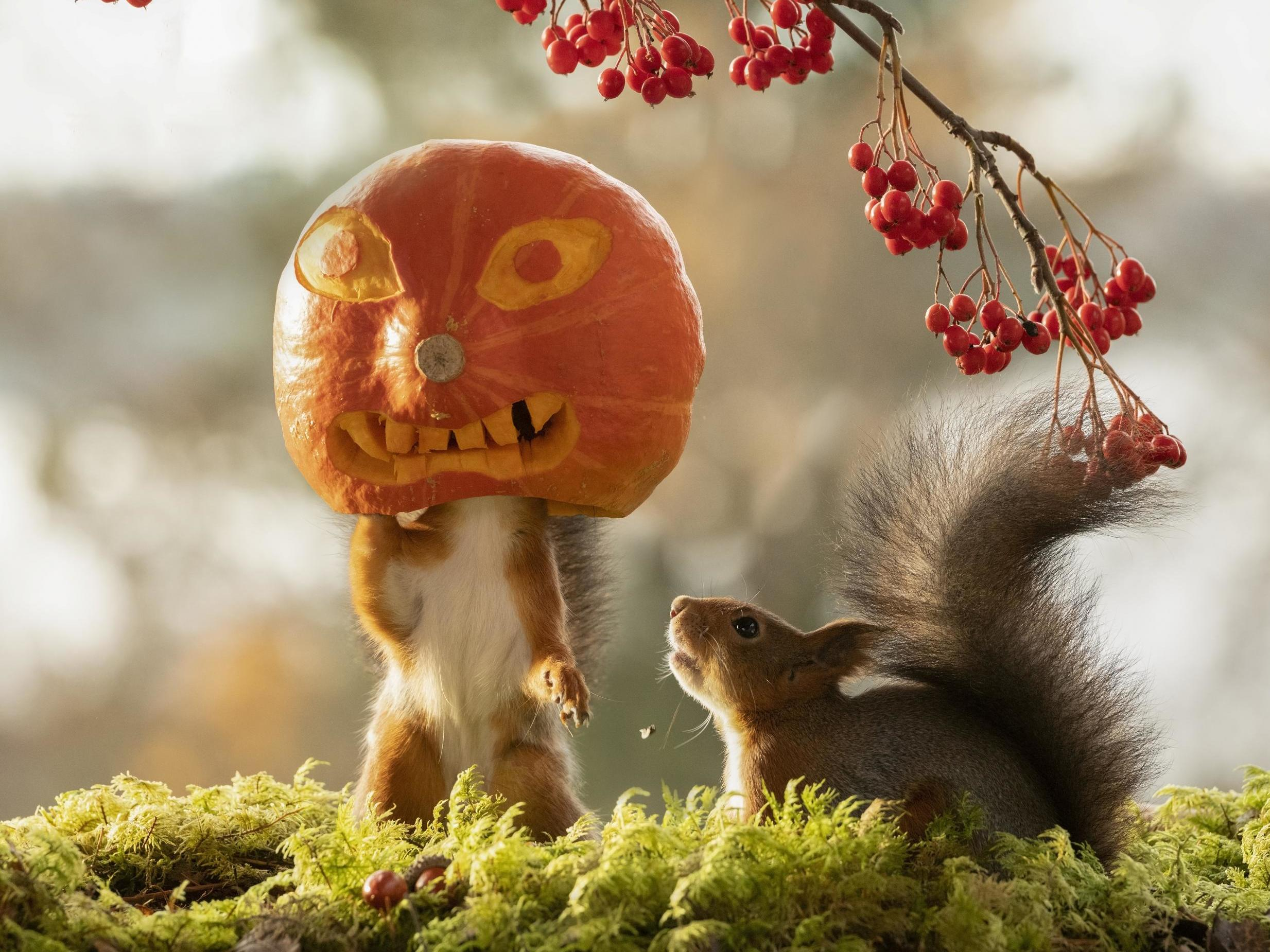 Squirrels seen playing with Halloween pumpkins in incredible wildlife photography