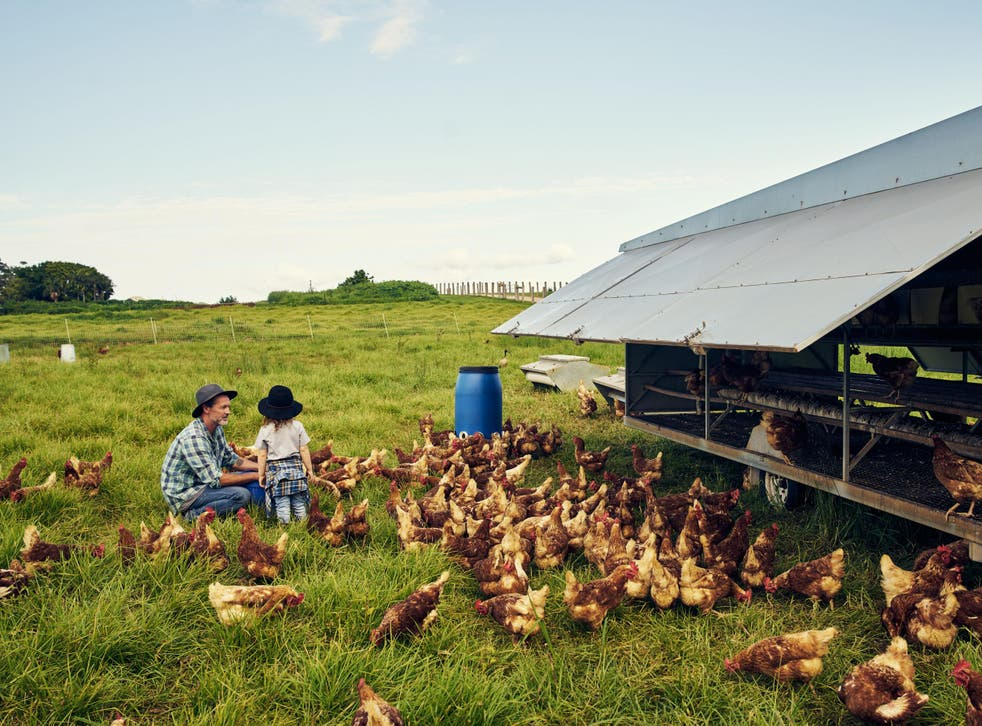 Raising chickens organically is actually less environmentally friendly than conventional methods