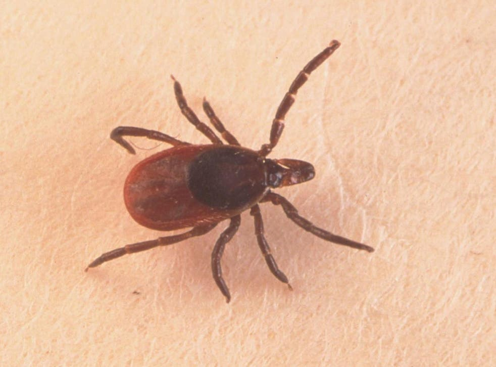It is thought infected ticks arrived in the UK through migratory birds