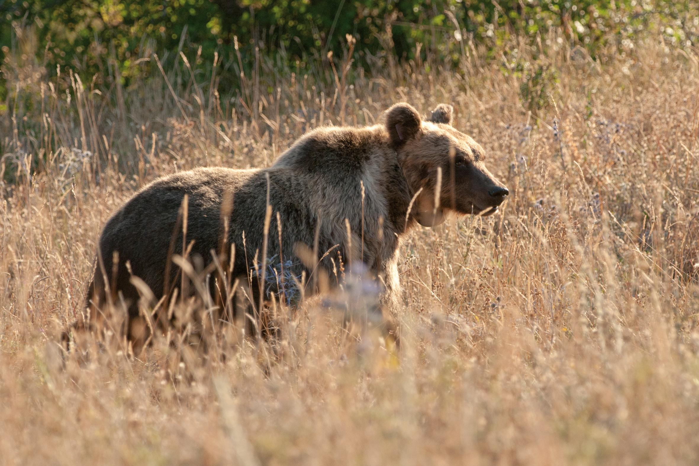 The search for Europe's most endangered bear
