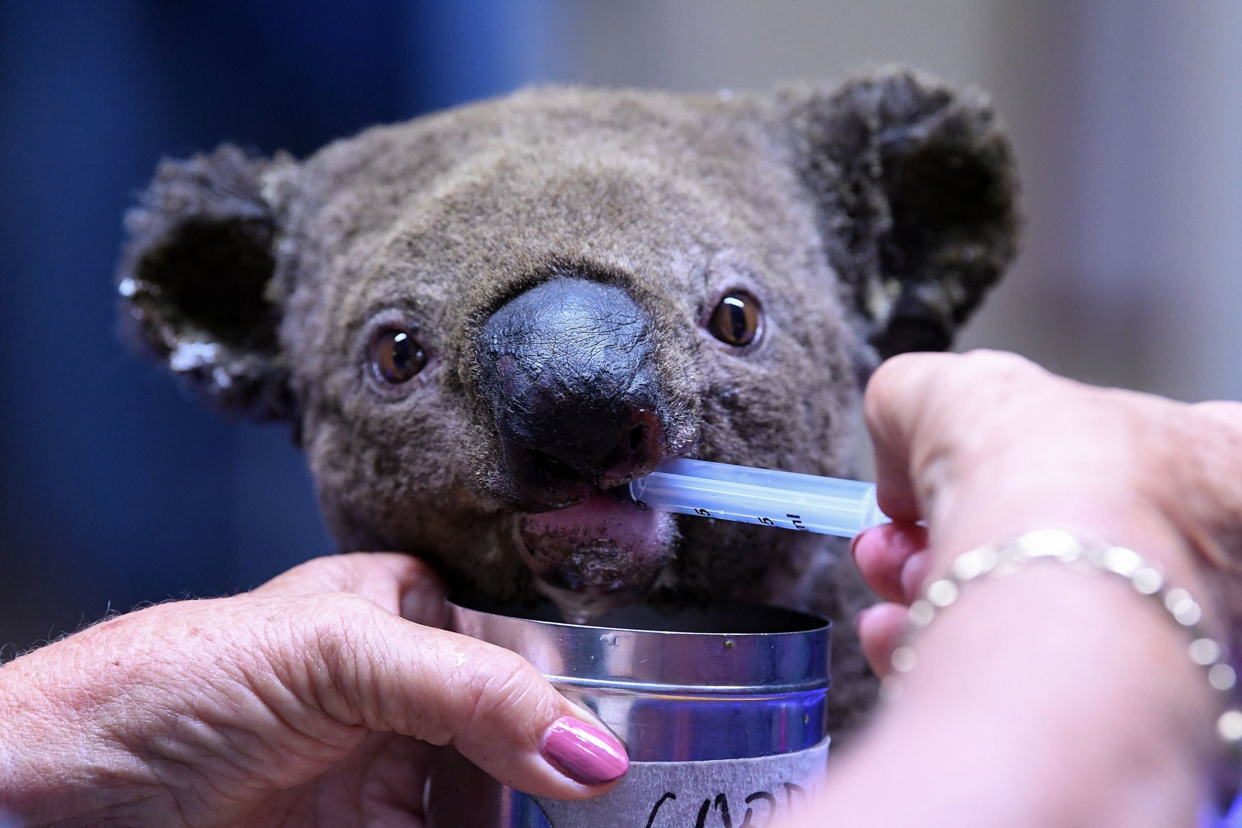 Australian bushfires wipe out half of koala colony