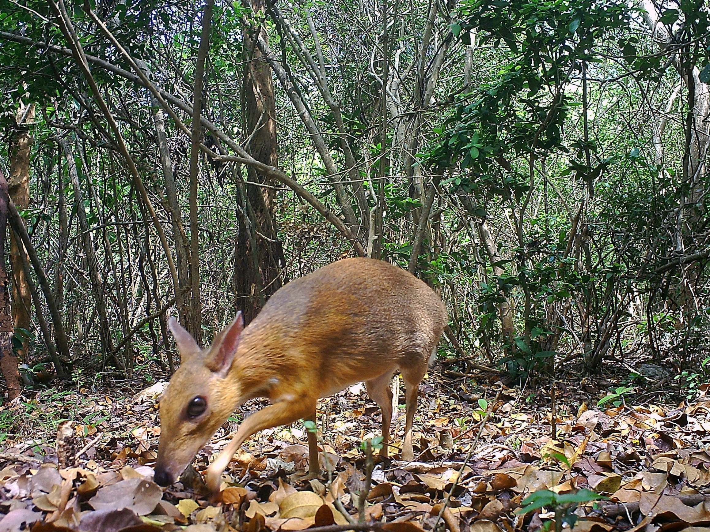 'Extinct' deer small enough to hold in one hand reappears in wild, giving hope for other endangered species