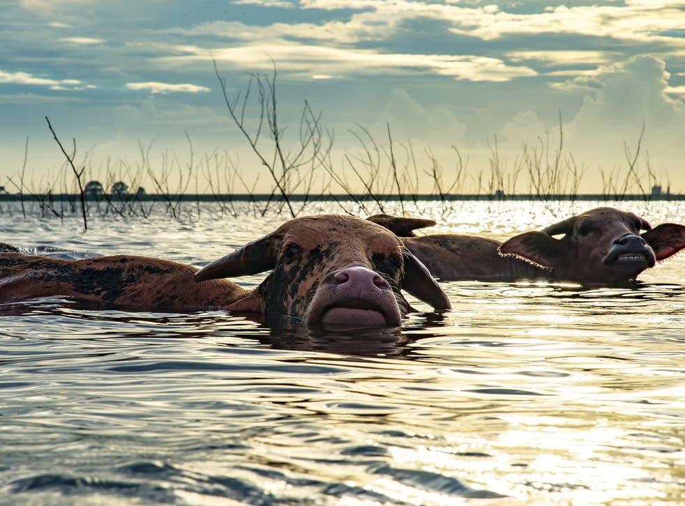 File photo of buffalo swimming