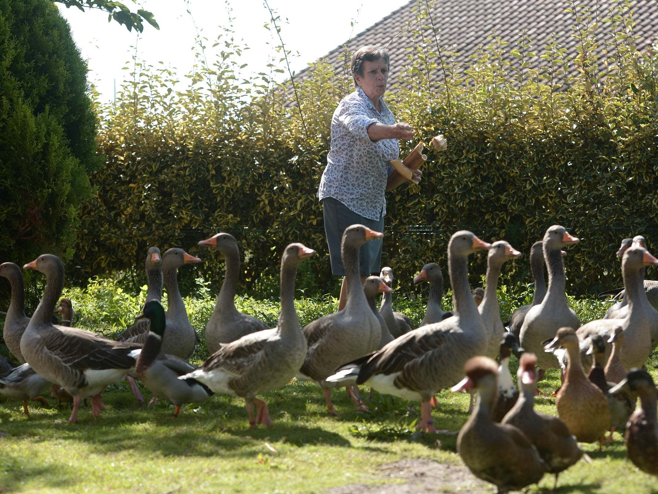 Ducks win court case over loud quacking in French countryside