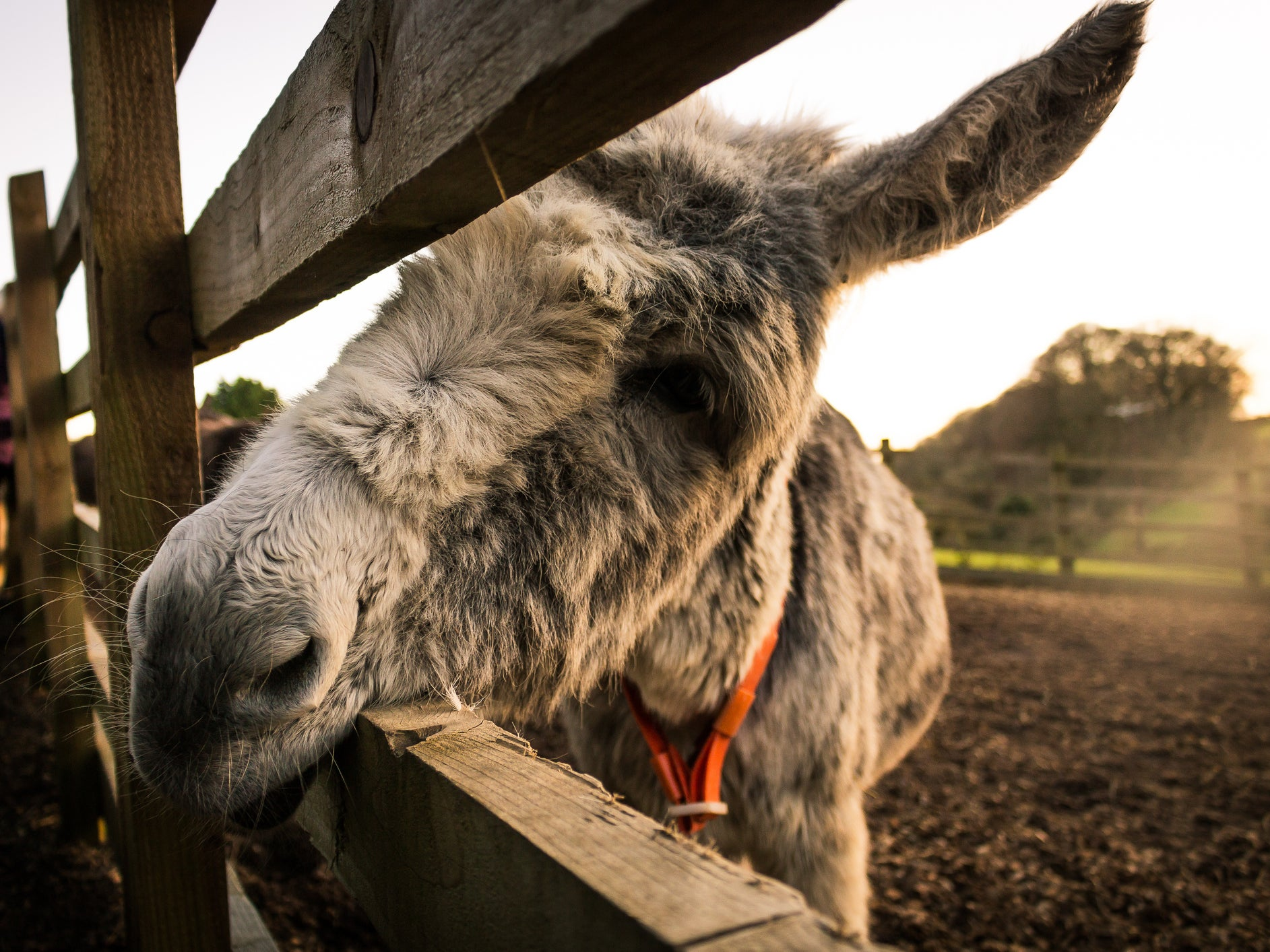 Half of the world's donkey population could be killed in next five years amid surge in demand for Chinese medicine