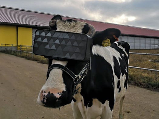 Russian cows get virtual reality glasses to help them ward off winter blues