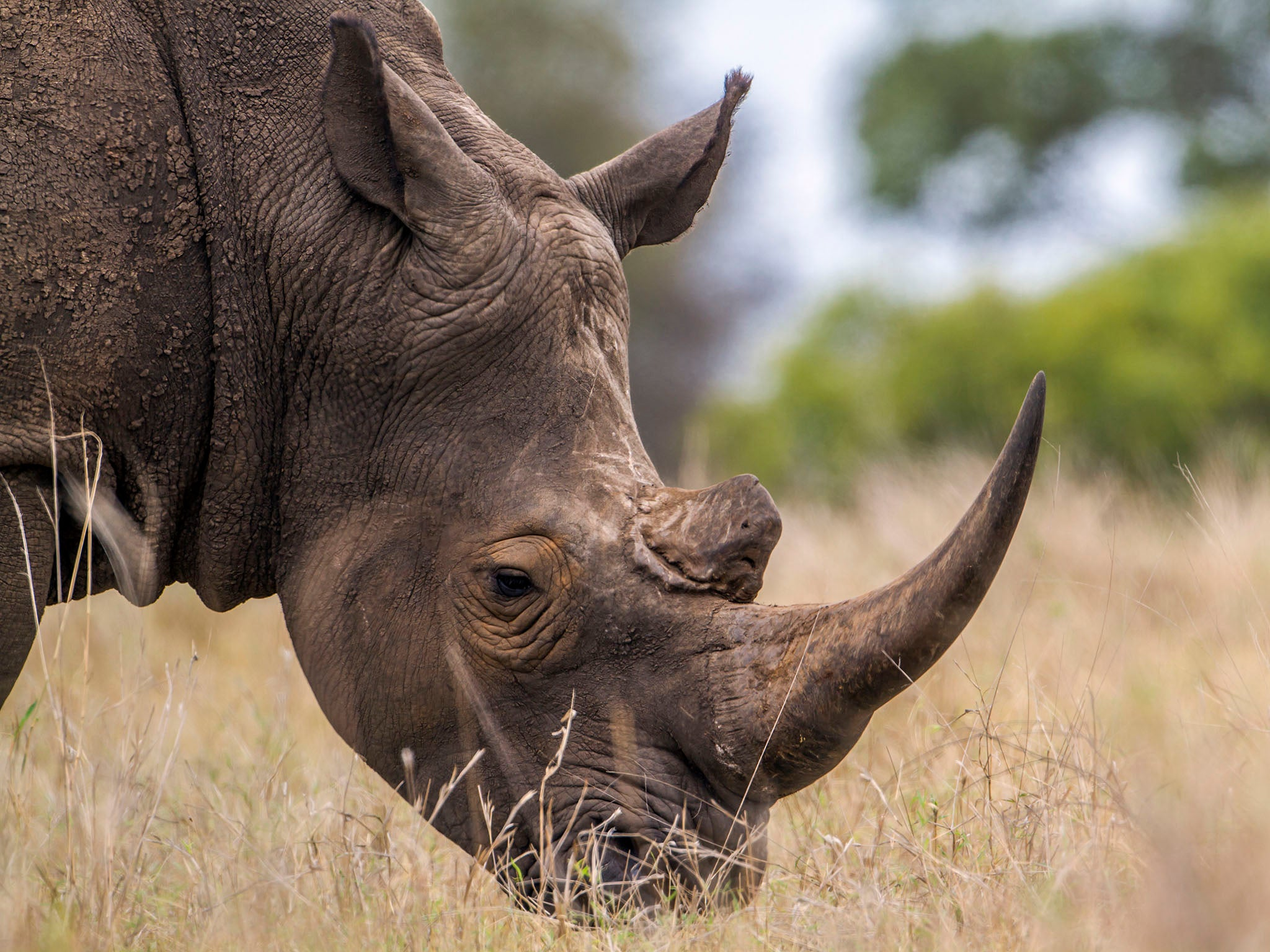 Will fake horns save the rhino from extinction or will it cause more harm?
