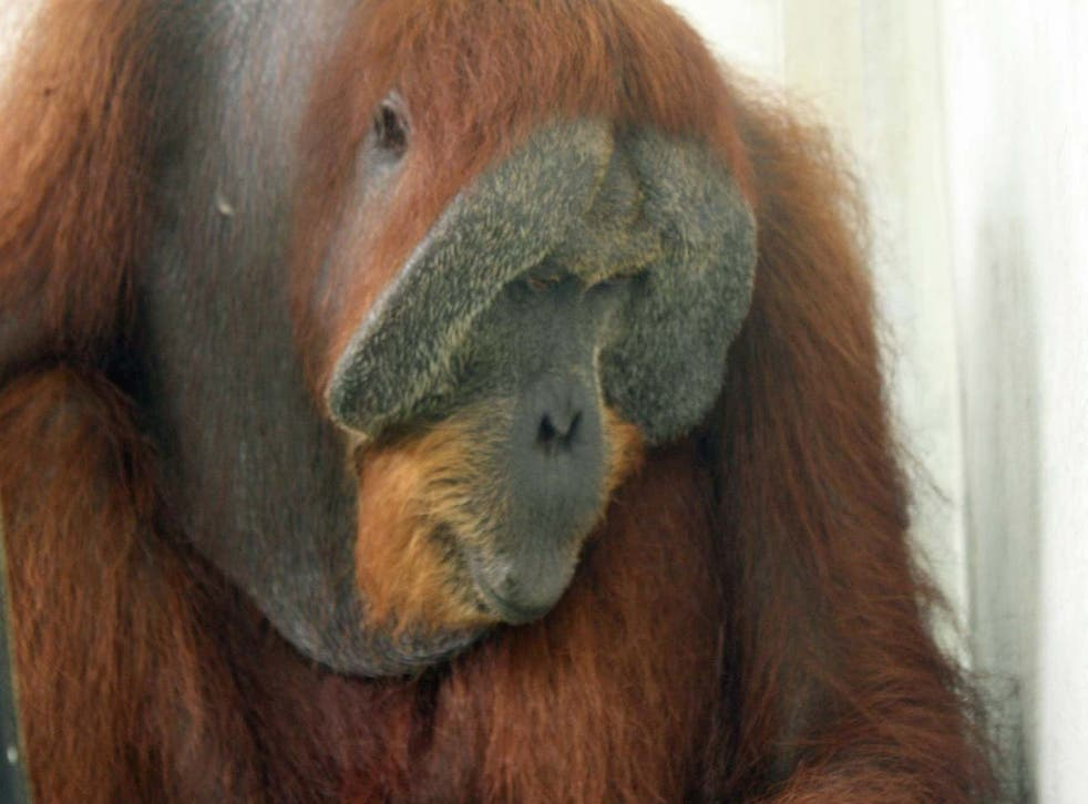The orangutan know as 'Paguh' has been blinded by the attack