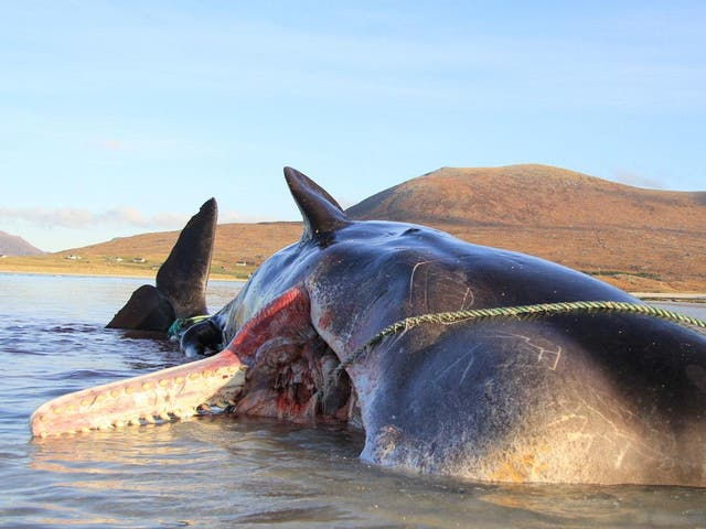 A sperm whale was found with a ball of litter in its stomach weighing 100kg