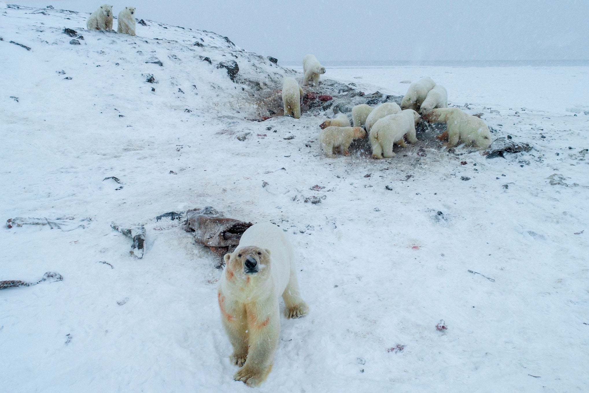Hungry polar bears invade Russian town for food because no longer enough ice for them to travel further north to hunt thumbnail