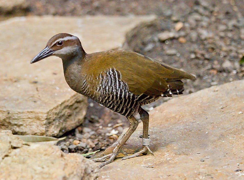 The Guam rail was believed to have gone extinct in 1987