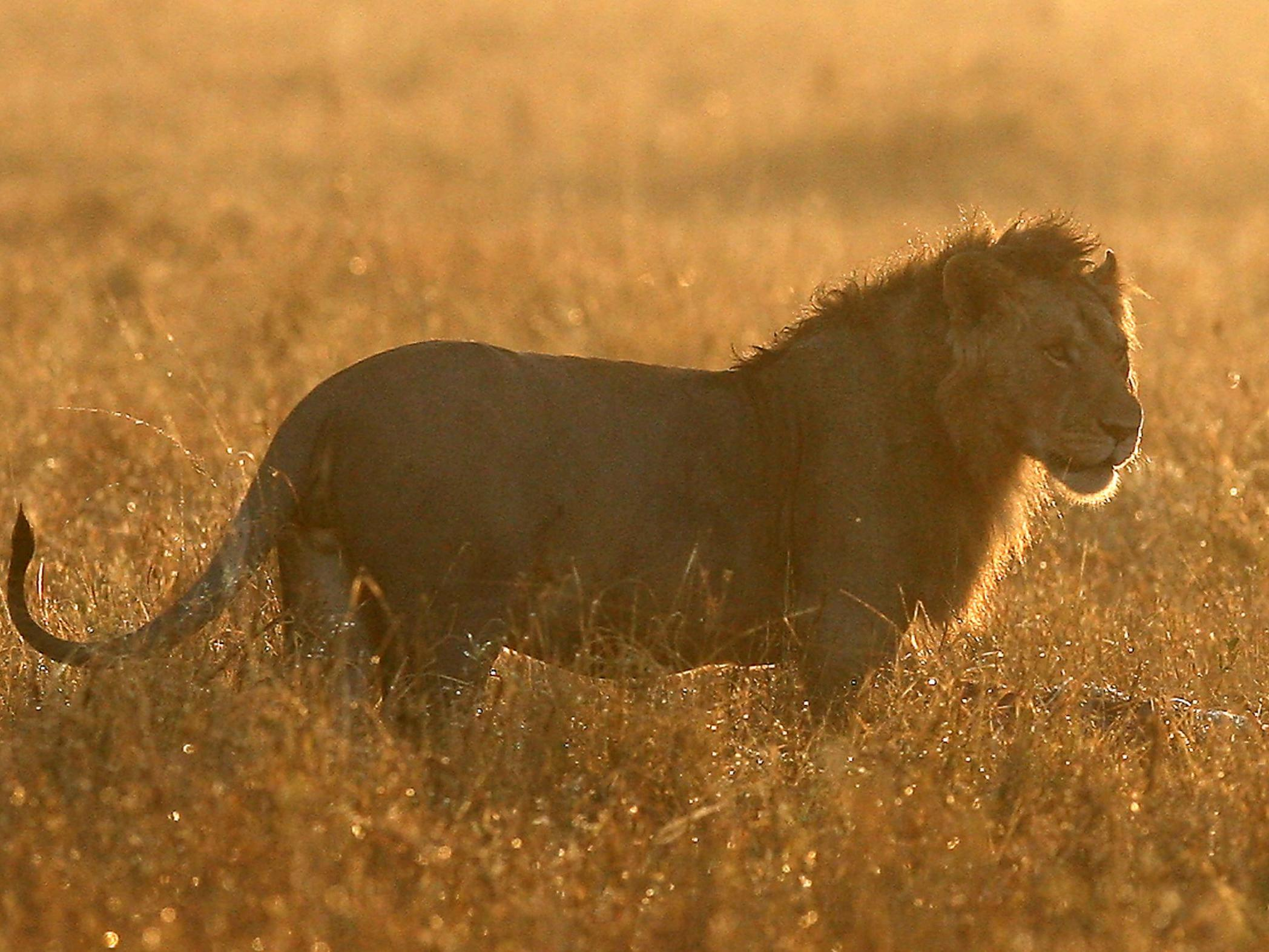 Residents urged to stay indoors after escaped lion mauls man to death