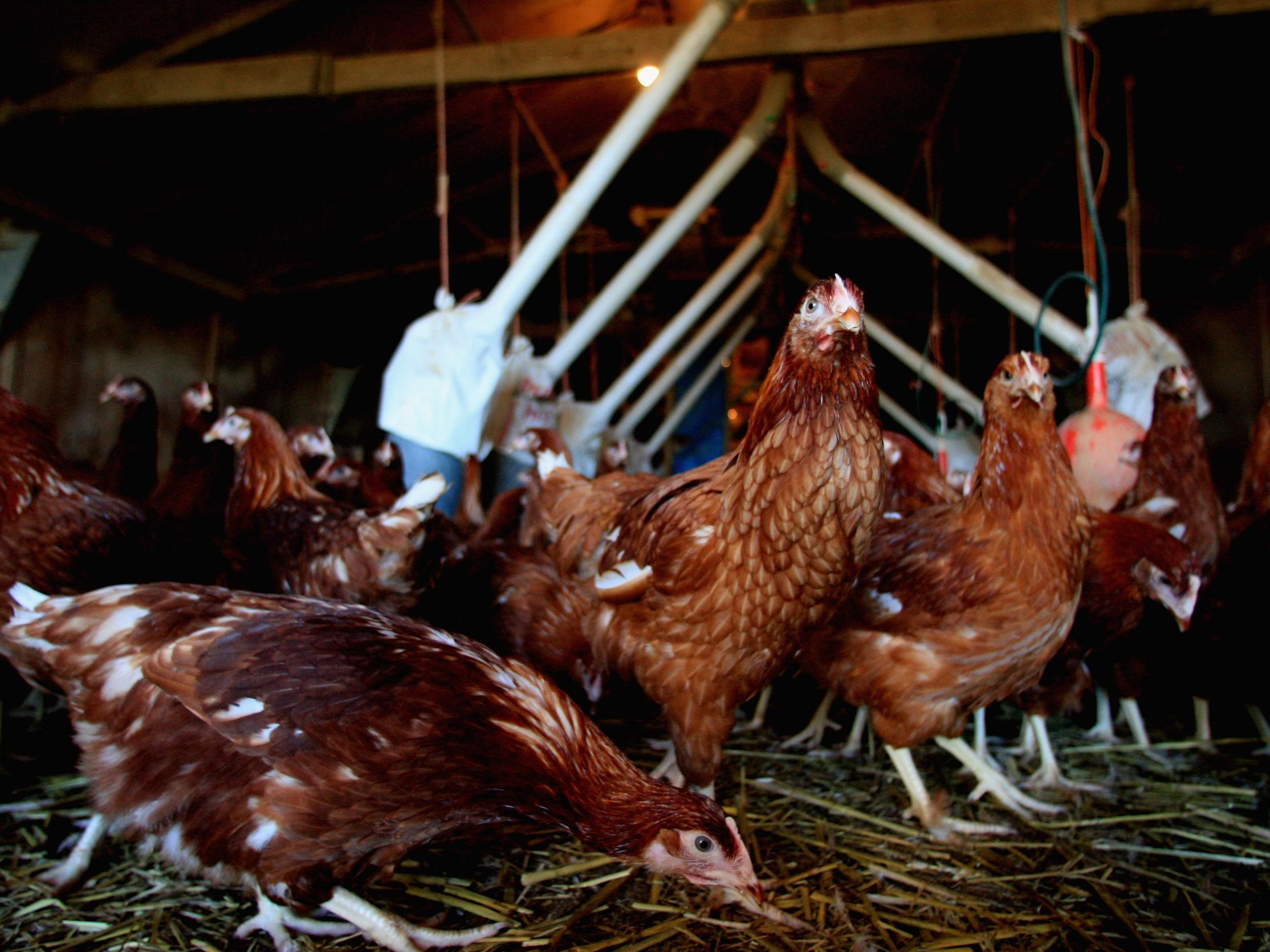Bird flu: 27,000 chickens to be culled after outbreak confirmed at Suffolk farm