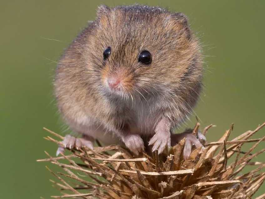 Harvest mice surprise researchers with unexpected resurgence after reintroduction 15 years ago