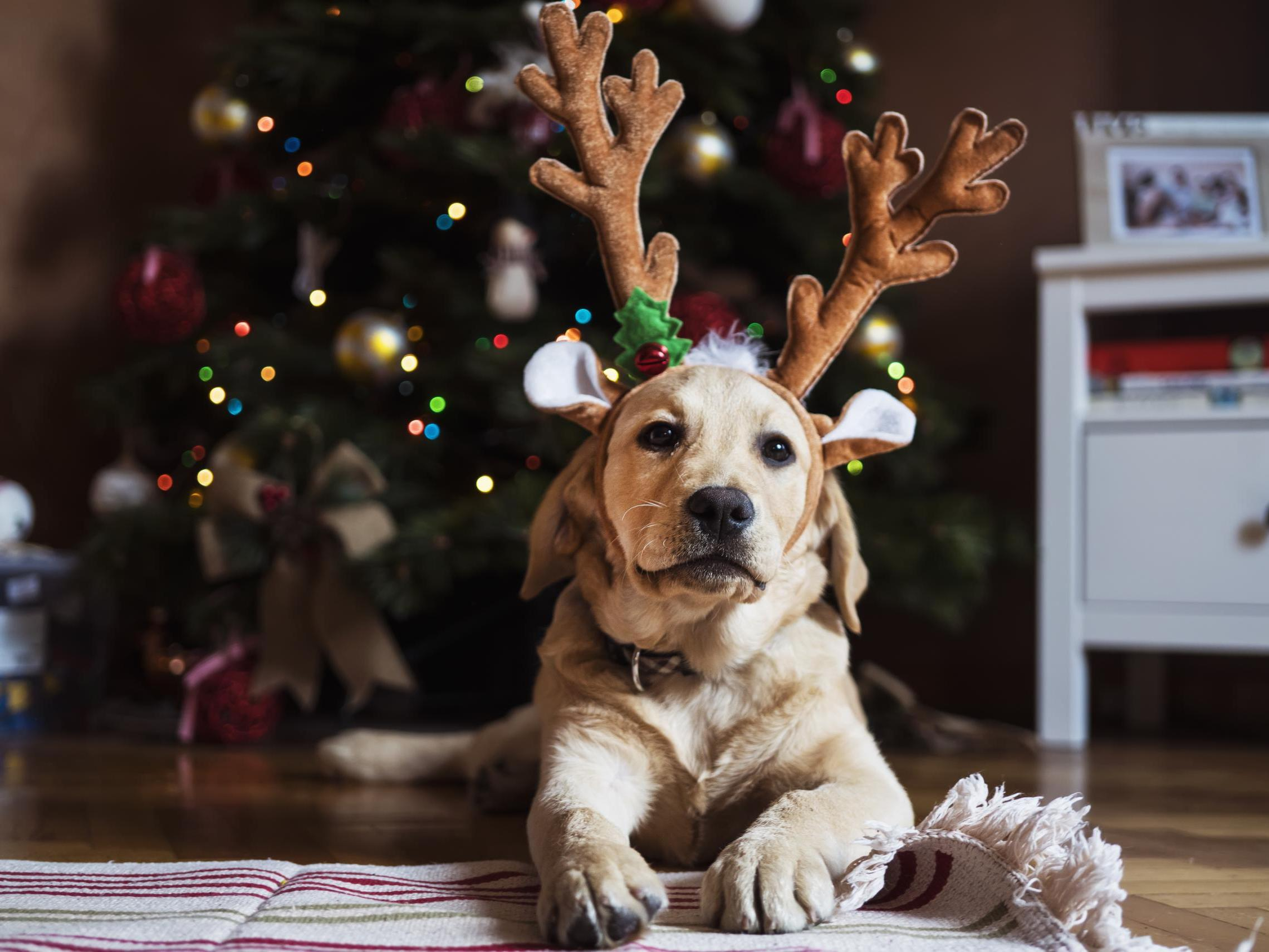 Pet owners warned to keep animals away from chocolate at Christmas