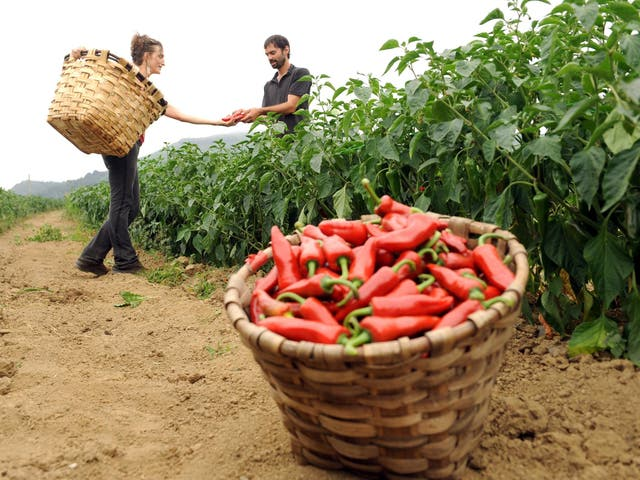 Chilli peppers being harvested in France