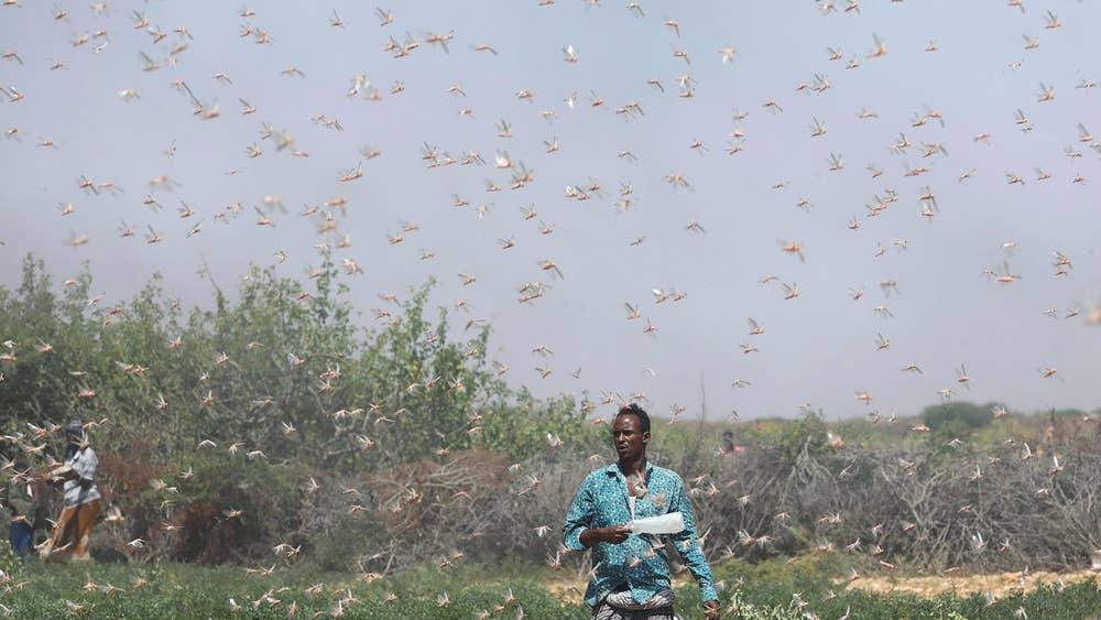 locust-invasion-somalia-1-0.jpg?width=10