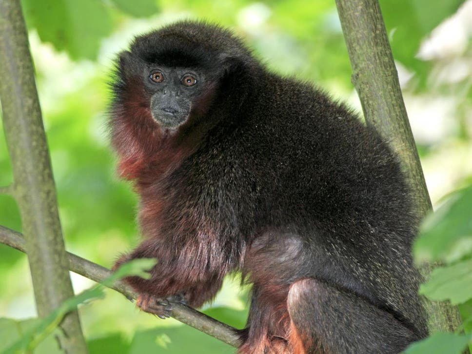 "New monkey discovered on ""island"" amid deforestation in Brazil"
