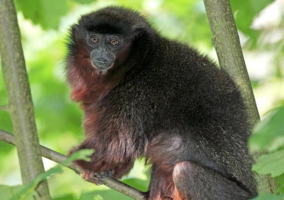 New Species Of Monkey Found In Amazon Rainforest After Being