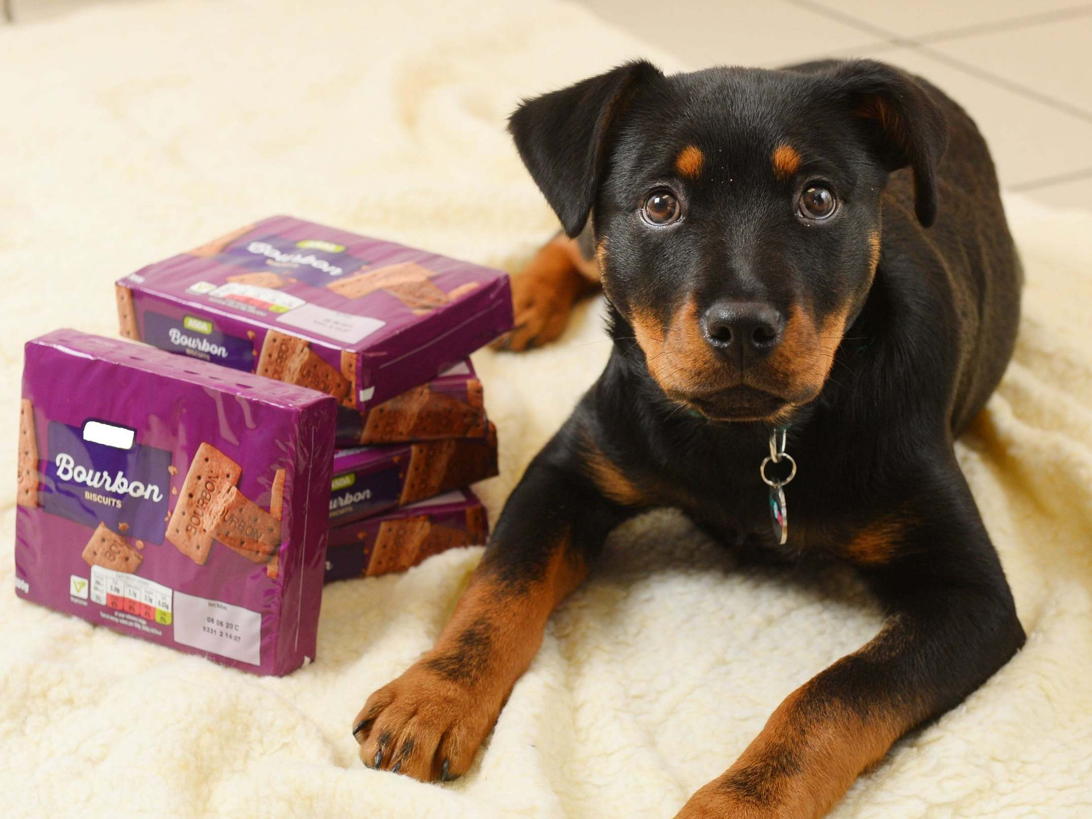 Puppy almost killed by chocolate biscuits, prompting warning to dog owners