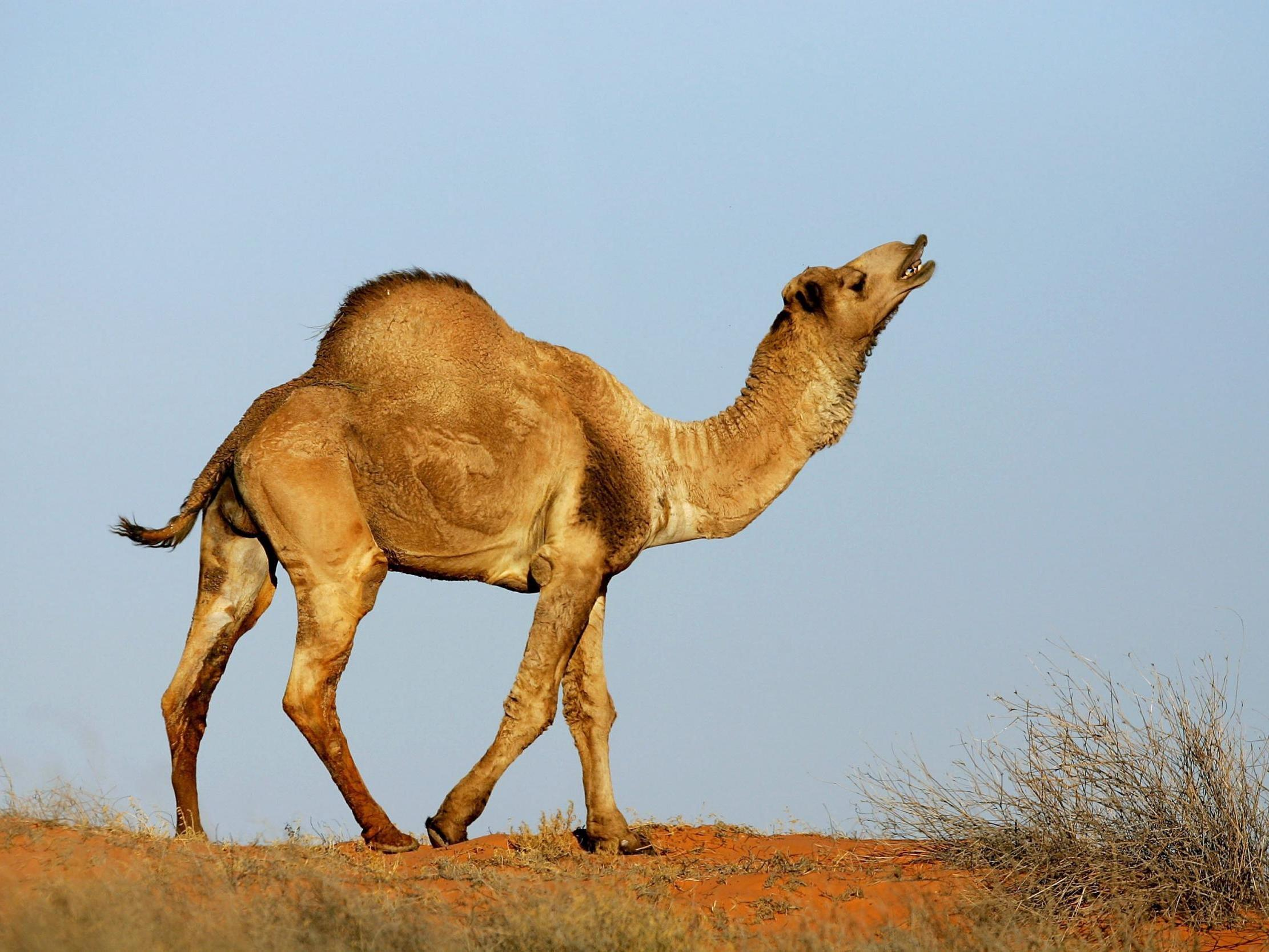 Australia: More than 10,000 camels to be shot from helicopters because they drink too much water
