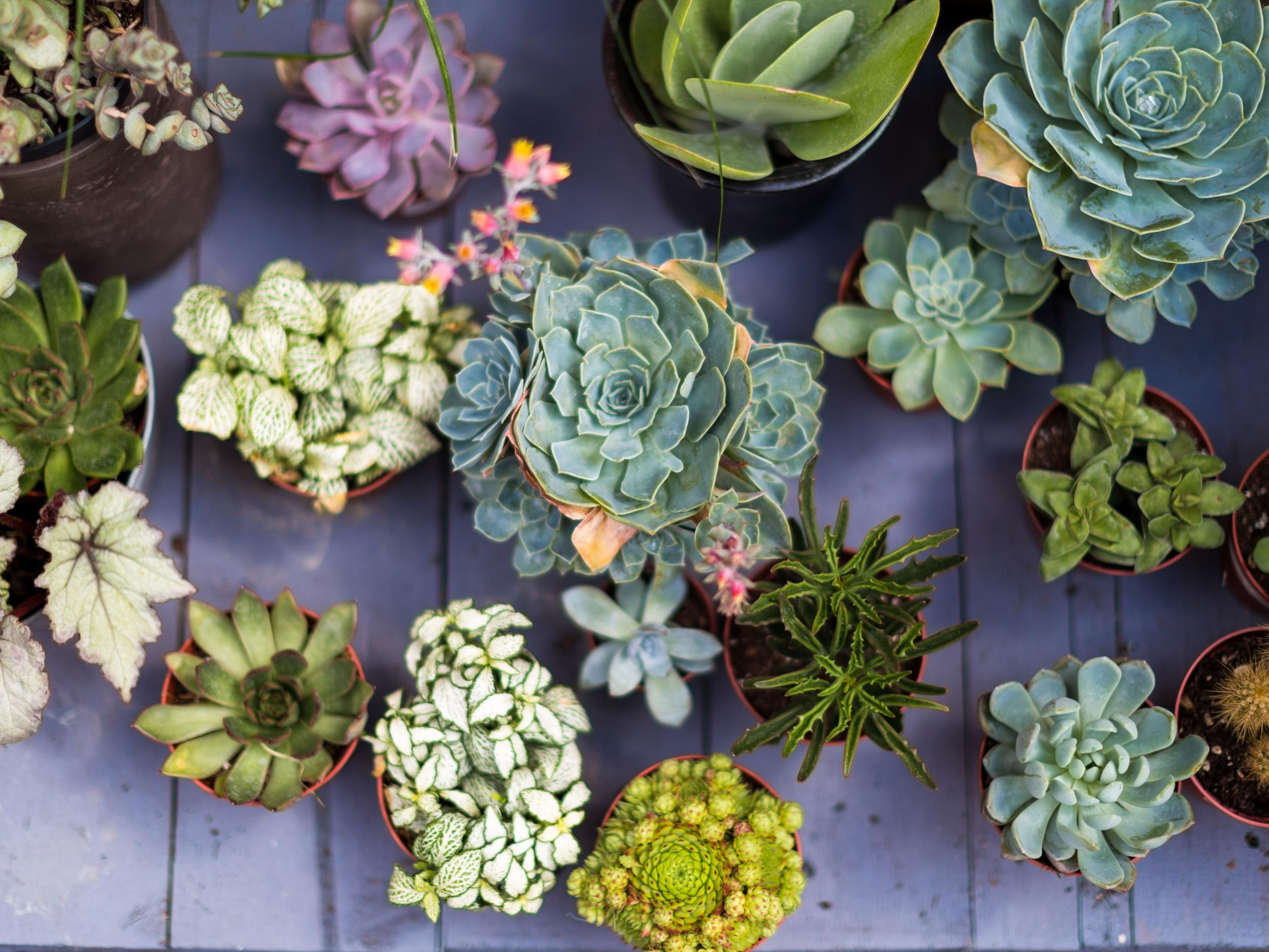 buying succulents guide
