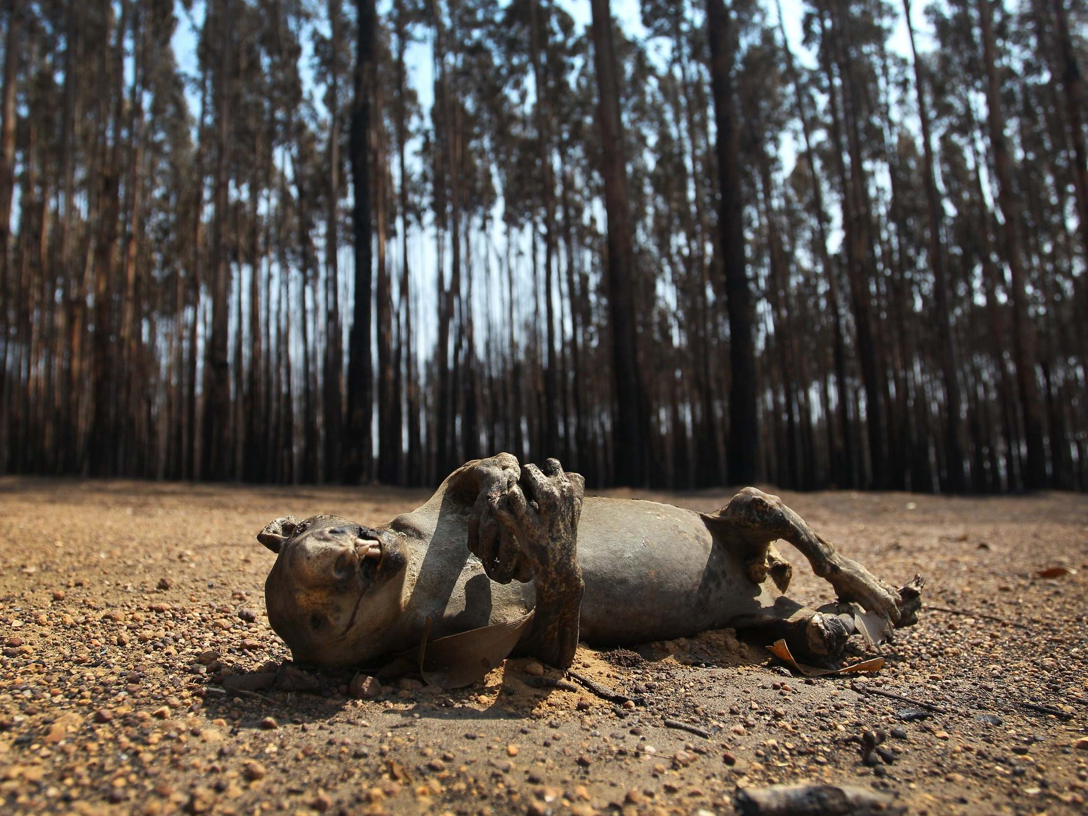 Australia wildfires: 'You can't walk 10 metres without coming across another carcass,' says animal charity