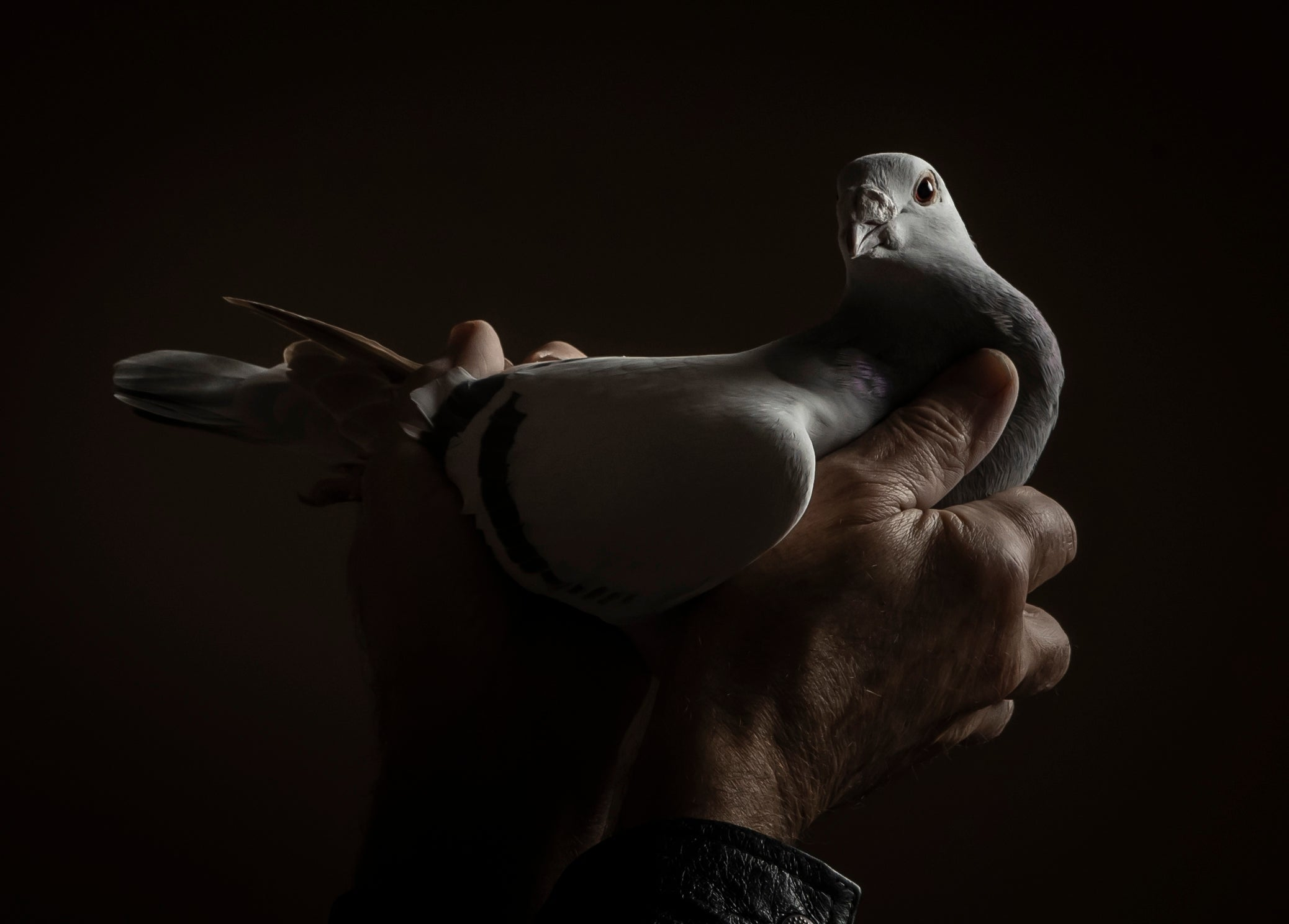 Pakistani man demands return of 'spy' pigeon detained in India thumbnail