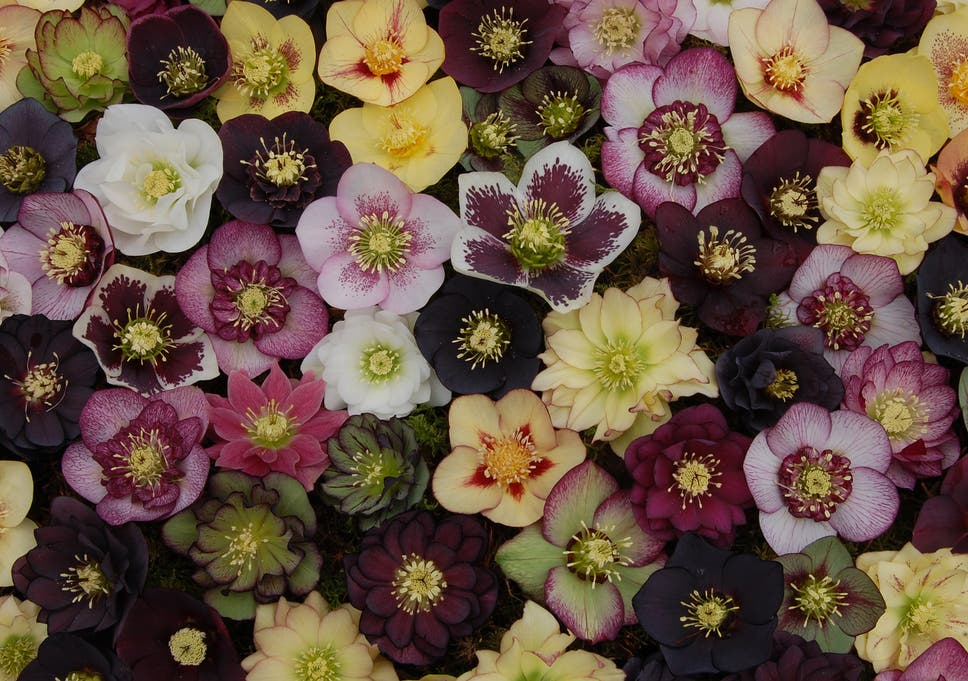 Early Bloomer The Hellebore Perennial Has Never Been Better The