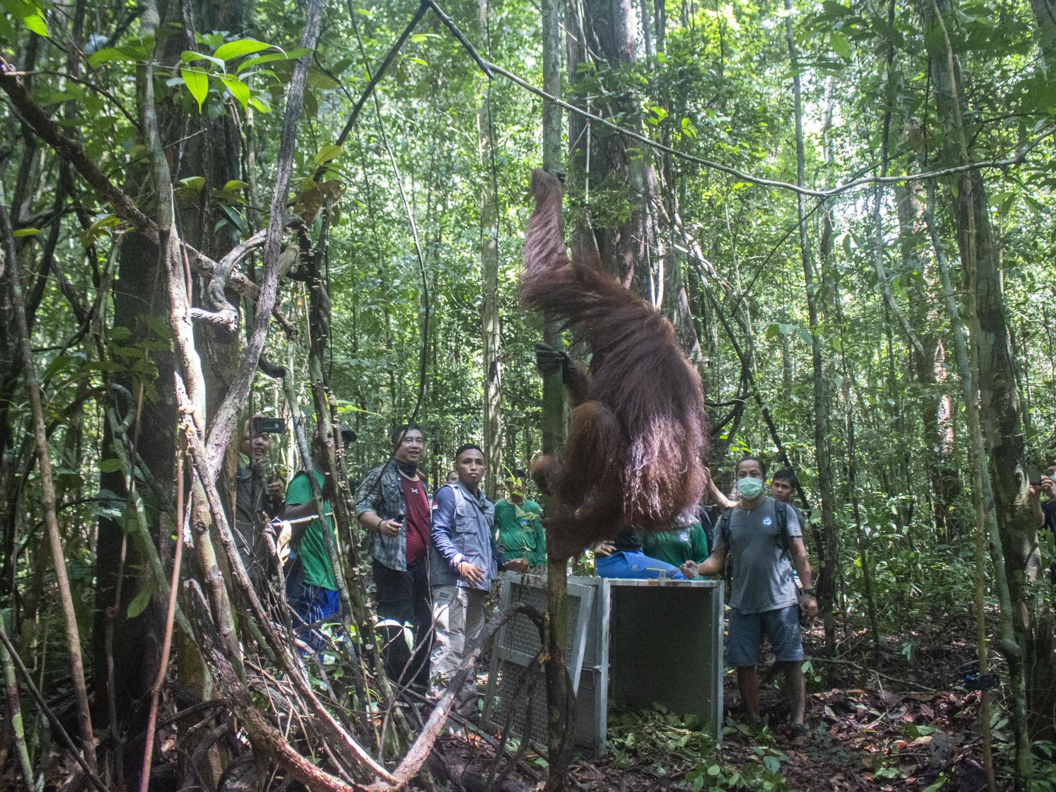 Starving and shot orangutan returned to wild as 'world's most wildli…