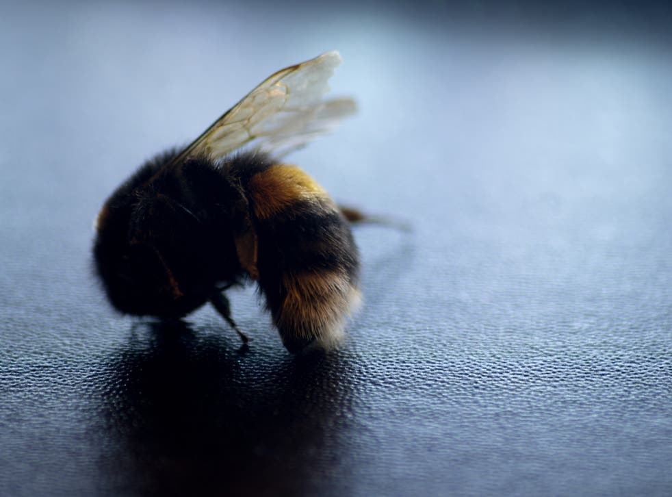 The rapid decline of bumblebees puts our own species at risk