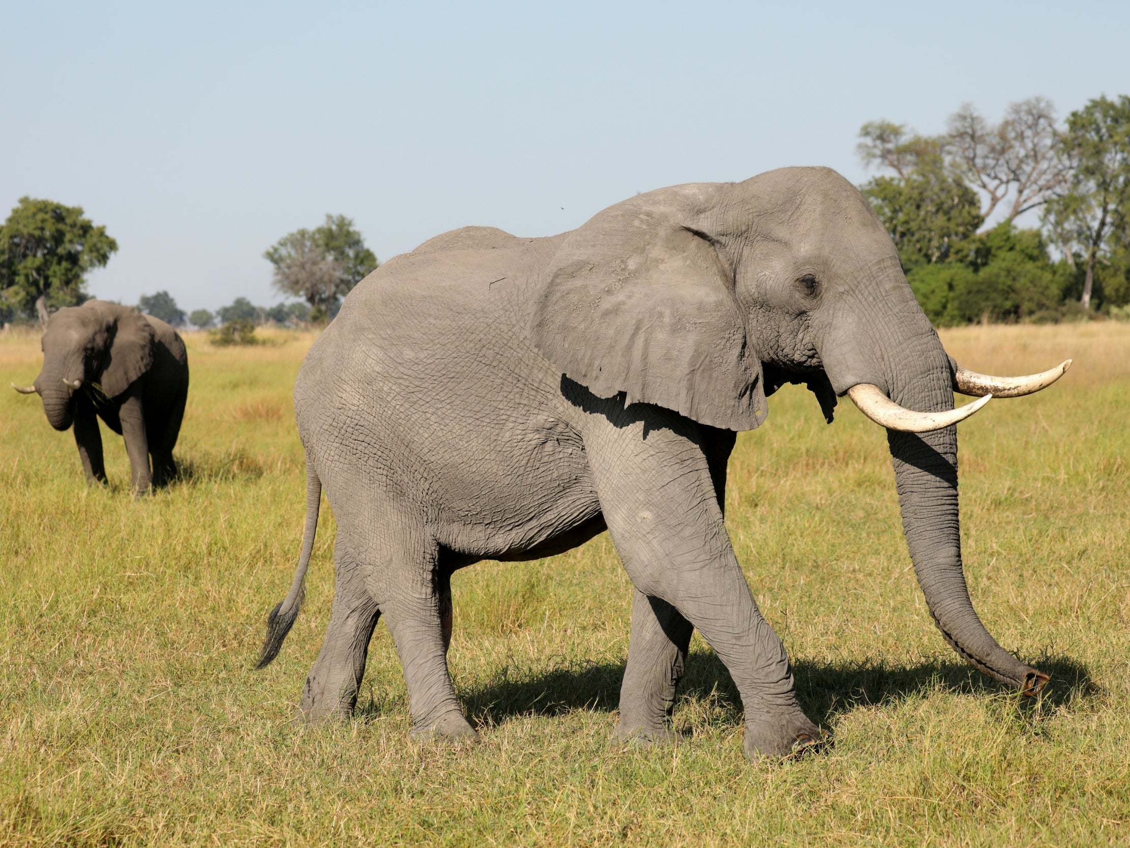 Fury as Botswana sells 60 elephant shoot permits to trophy-hunters