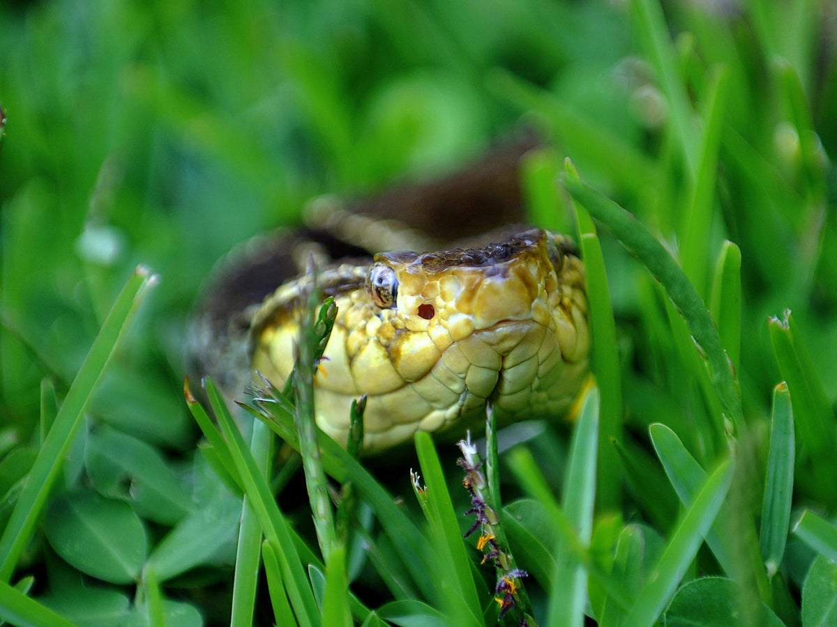 Snakes Starving Because Of Shortage Of Frogs To Eat The Independent The Independent