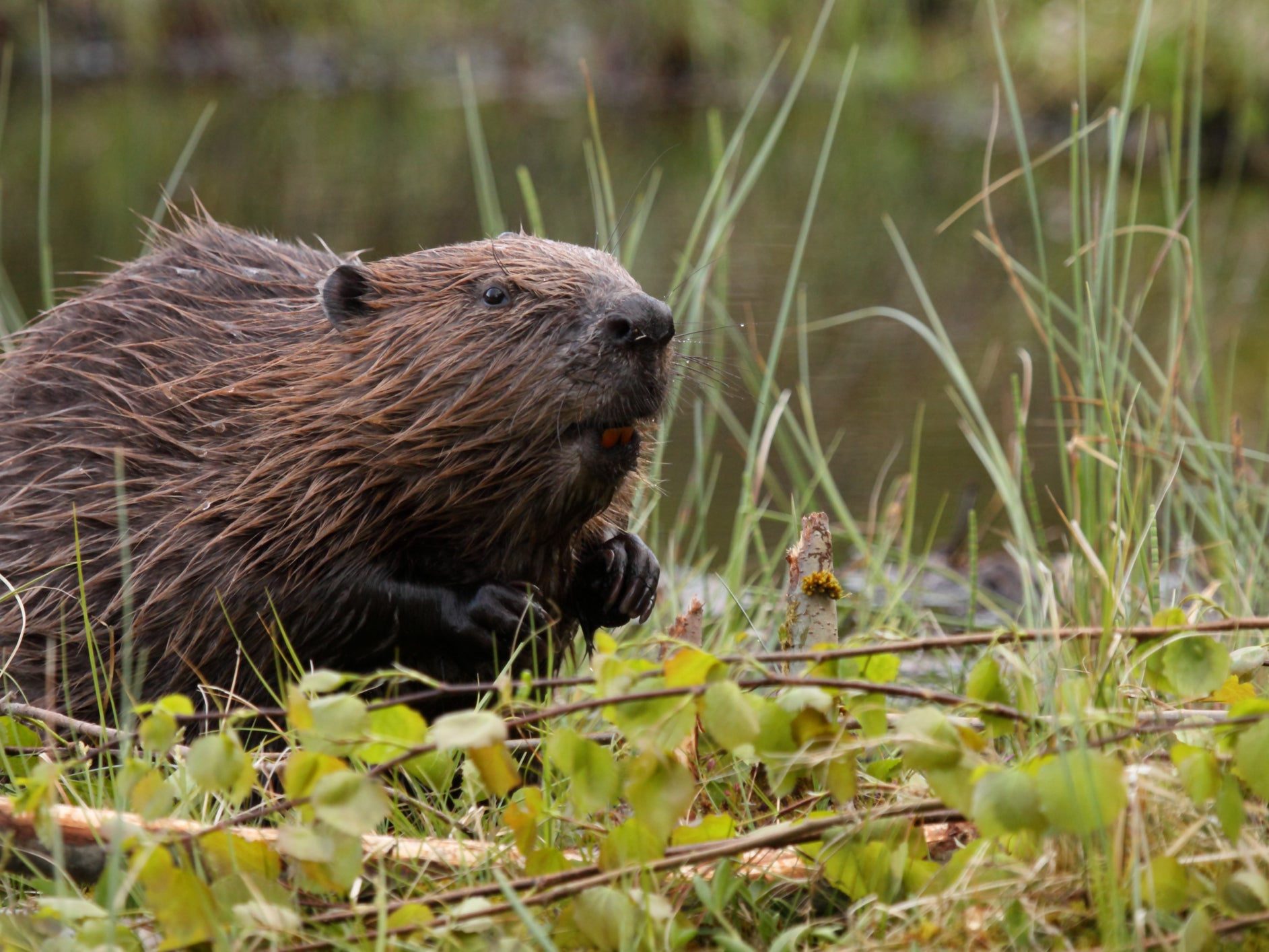 Beavers cut flood risks, clean rivers and boost wildlife, major study of wild population in UK reveals
