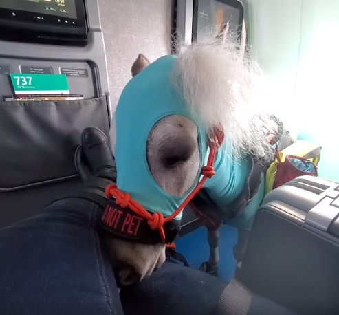 Miniature service horse called Fred takes first plane journey