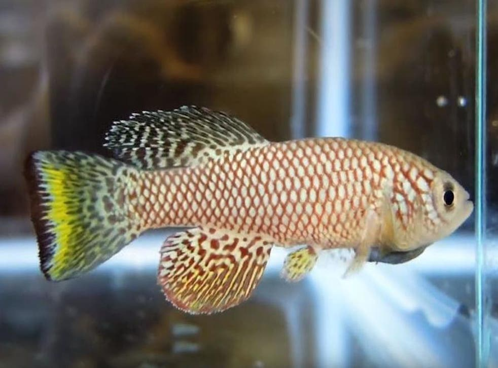 African Fish May Hold Key To Stopping Ageing In Humans The Independent The Independent