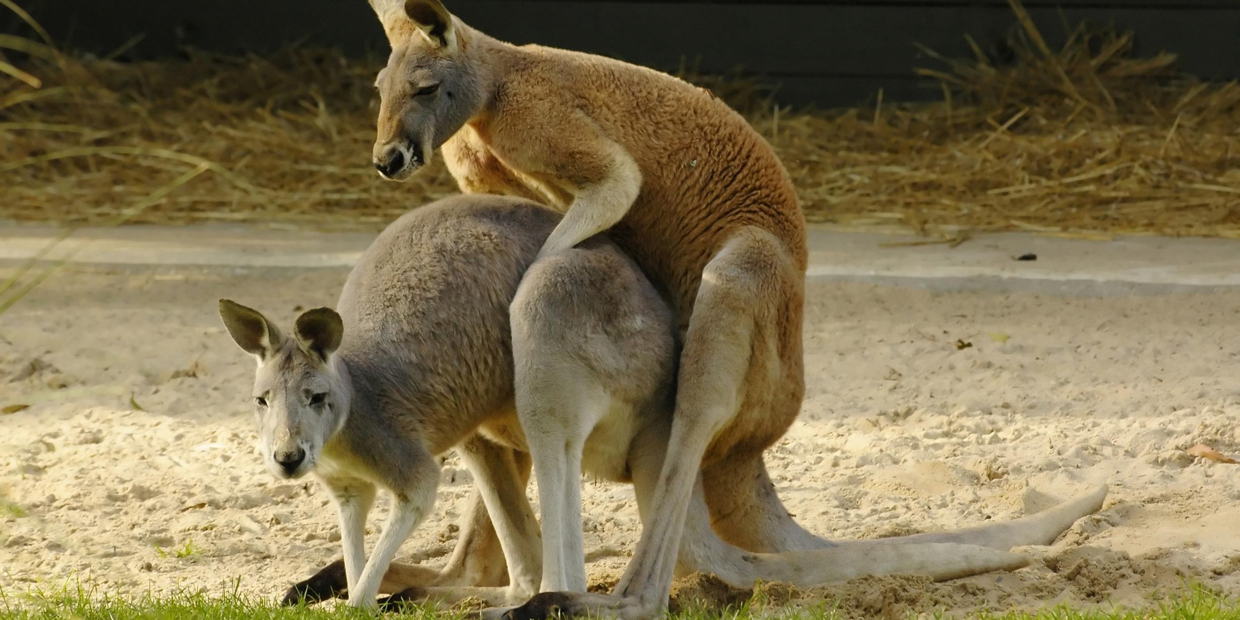 Photo reveals dark side of kangaroo sex