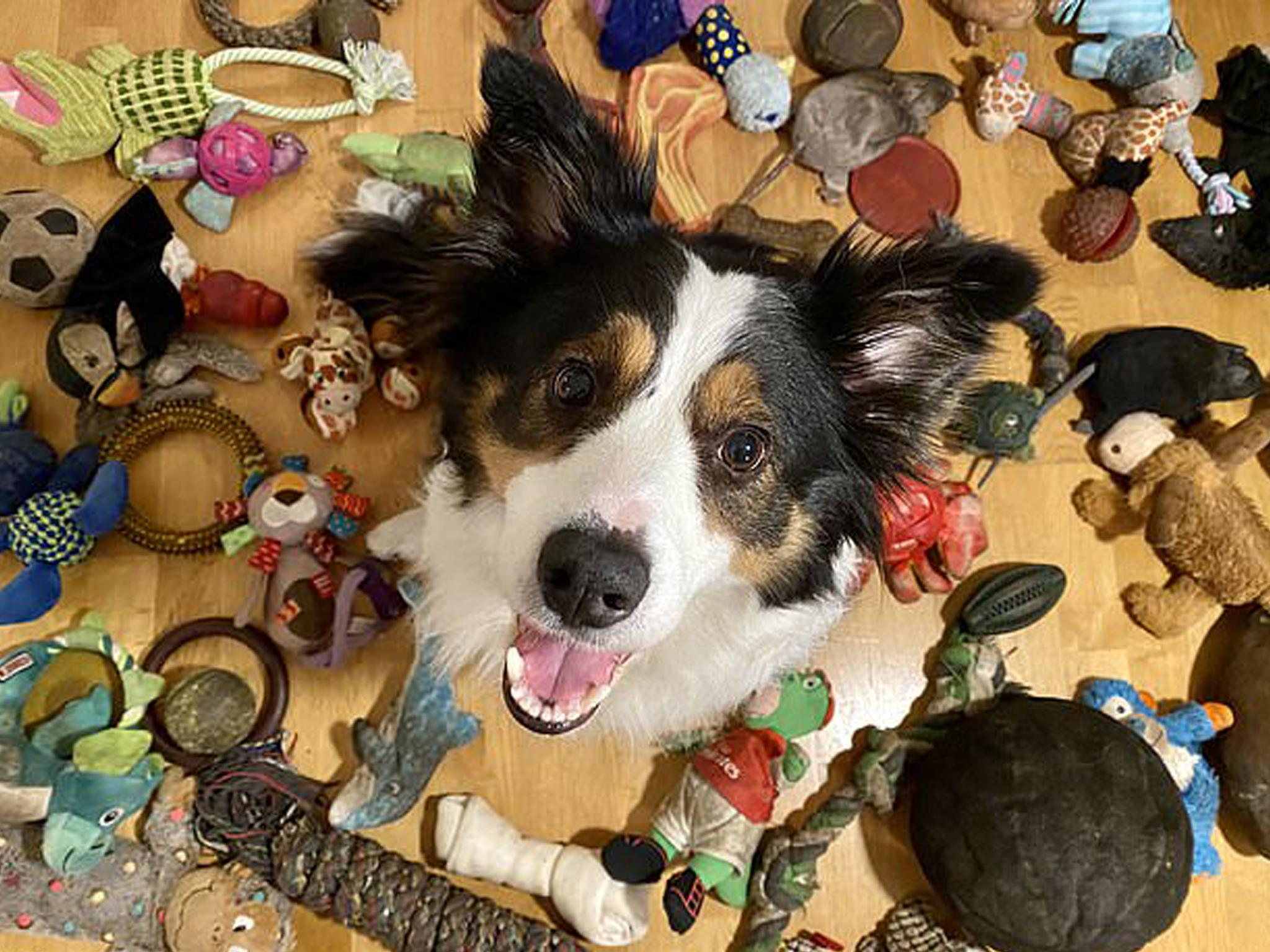 The dog that knows the names and categories of its 100 toys