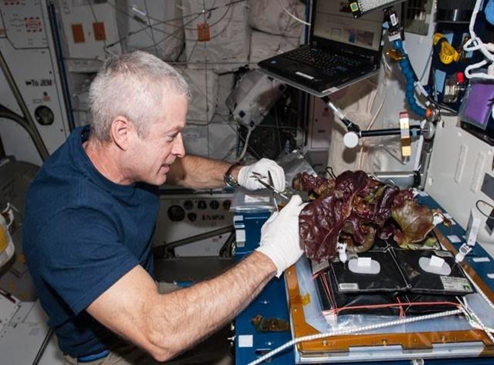NASA astronaut Steve Swanson harvesting a crop of red romaine lettuce plants