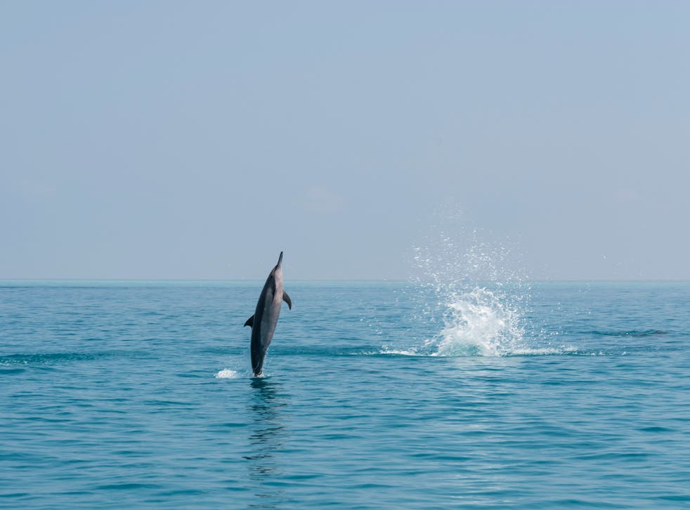 Vanishing before our eyes: A common dolphin leaps in the Indian Ocean