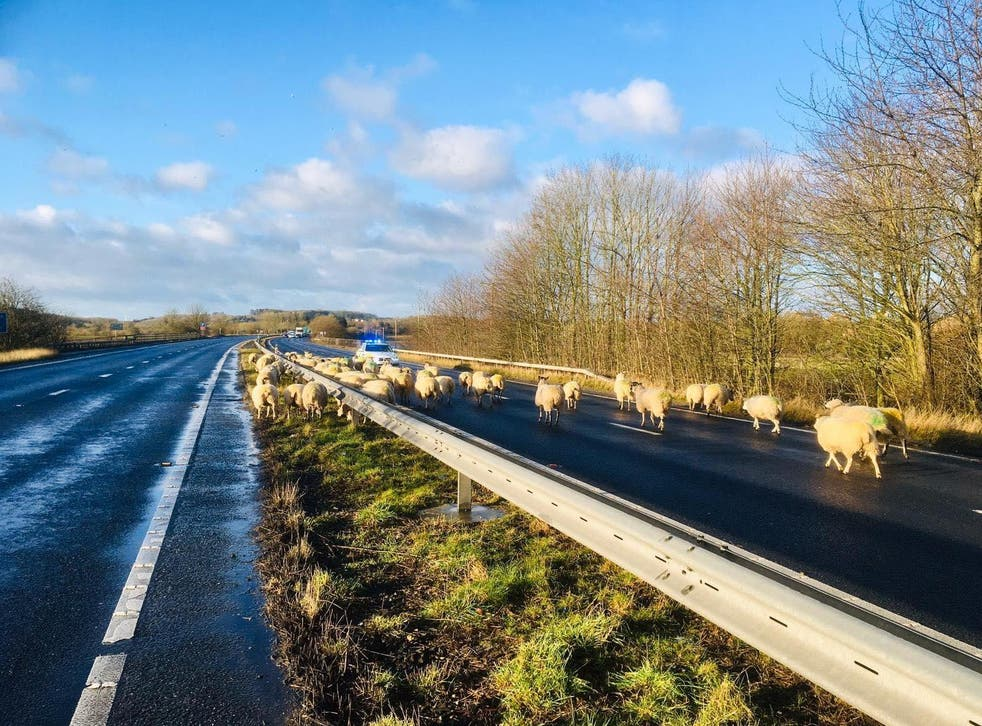 A large flock of sheep block both lanes on dual carriageway near Tadcaster