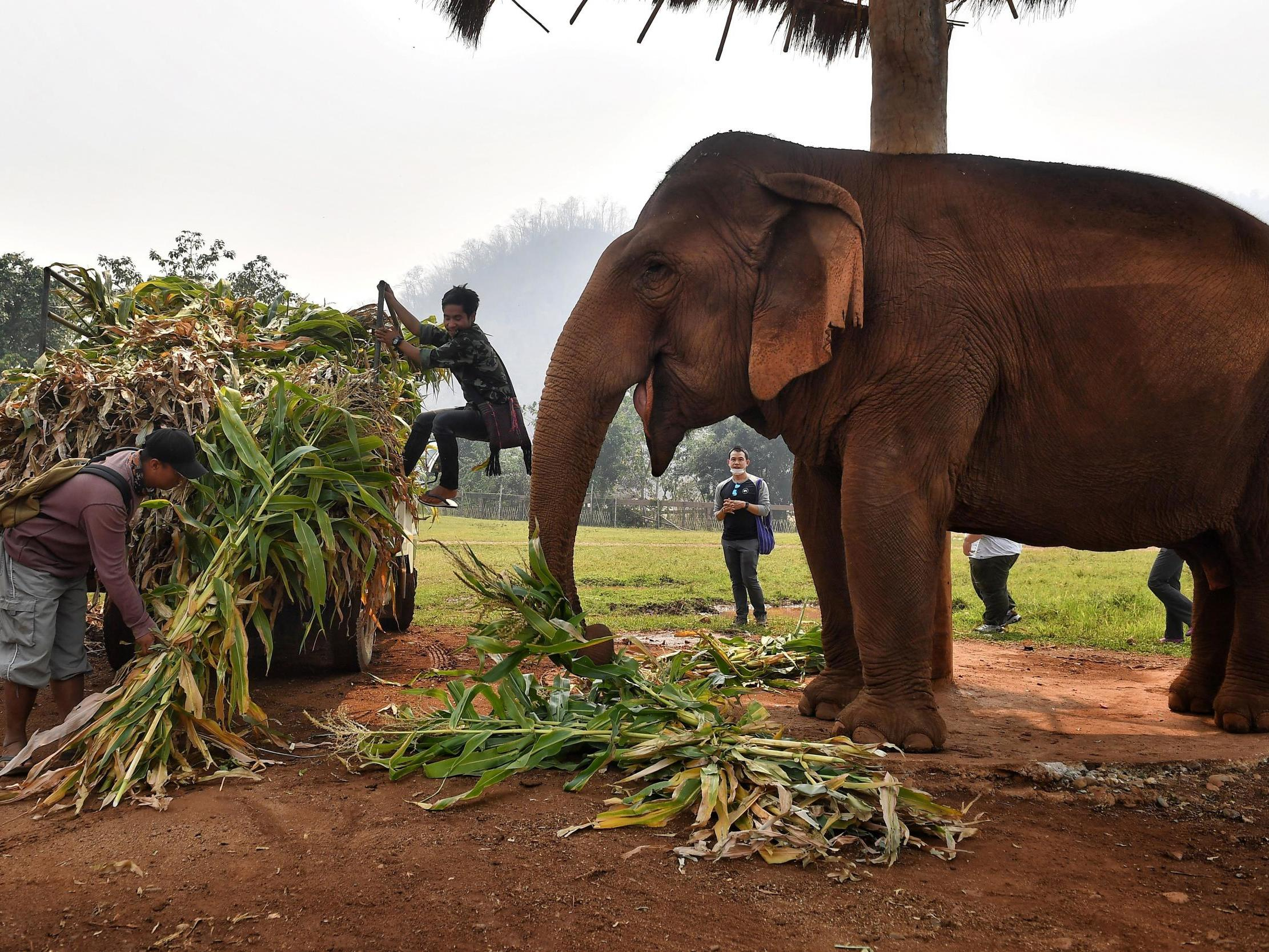 Dozens of elephants used for carrying tourists 'set free' as parks closed due to coronavirus pandemic