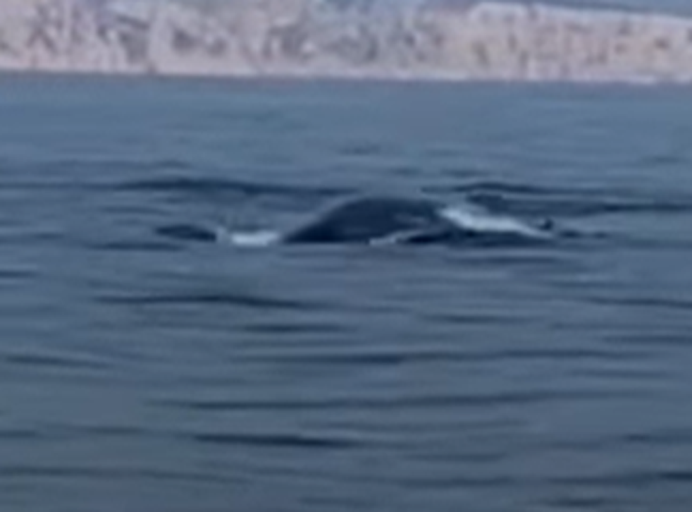 The fin whales were filmed frolicking in waters they never normally approach