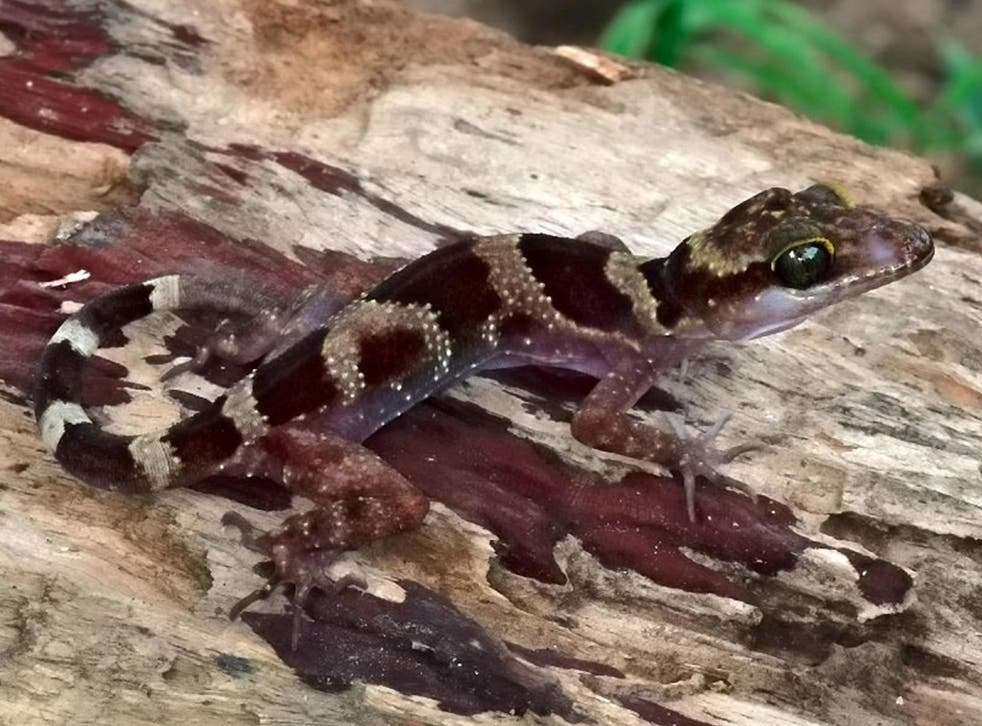 The new species of Cyrtodactylus phnomchiensis found in Cambodia