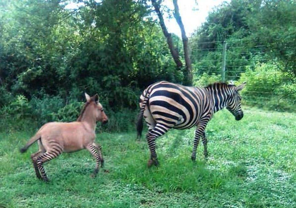 Rare zonkey born after 'wayward zebra' meets 'amorous donkey ...