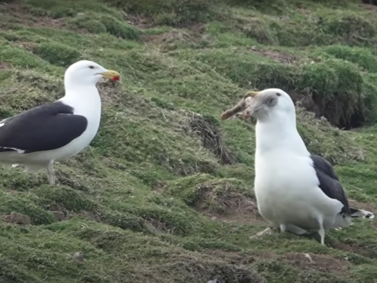 Great black-backed gull filmed swallowing rabbit whole thumbnail