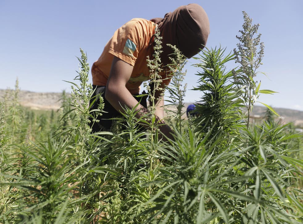 A worker cultivates plants at a cannabis plantation in the village of Yammouneh in Lebanon's eastern Bekaa Valley