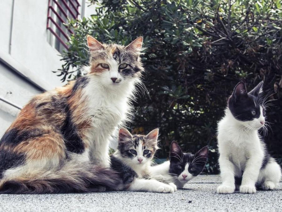 Coronavirus Two New York Cats Test Positive For Covid 19 Marking The First Confirmed Cases For Us Pets The Independent The Independent