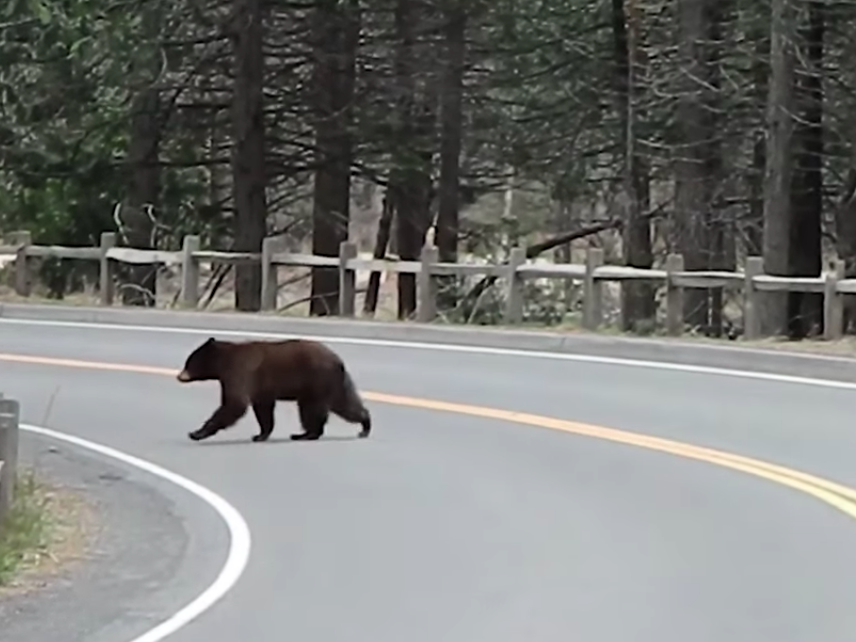 Coronavirus: Yosemite releases footage of bears, deers and other animals roaming with no humans around photo