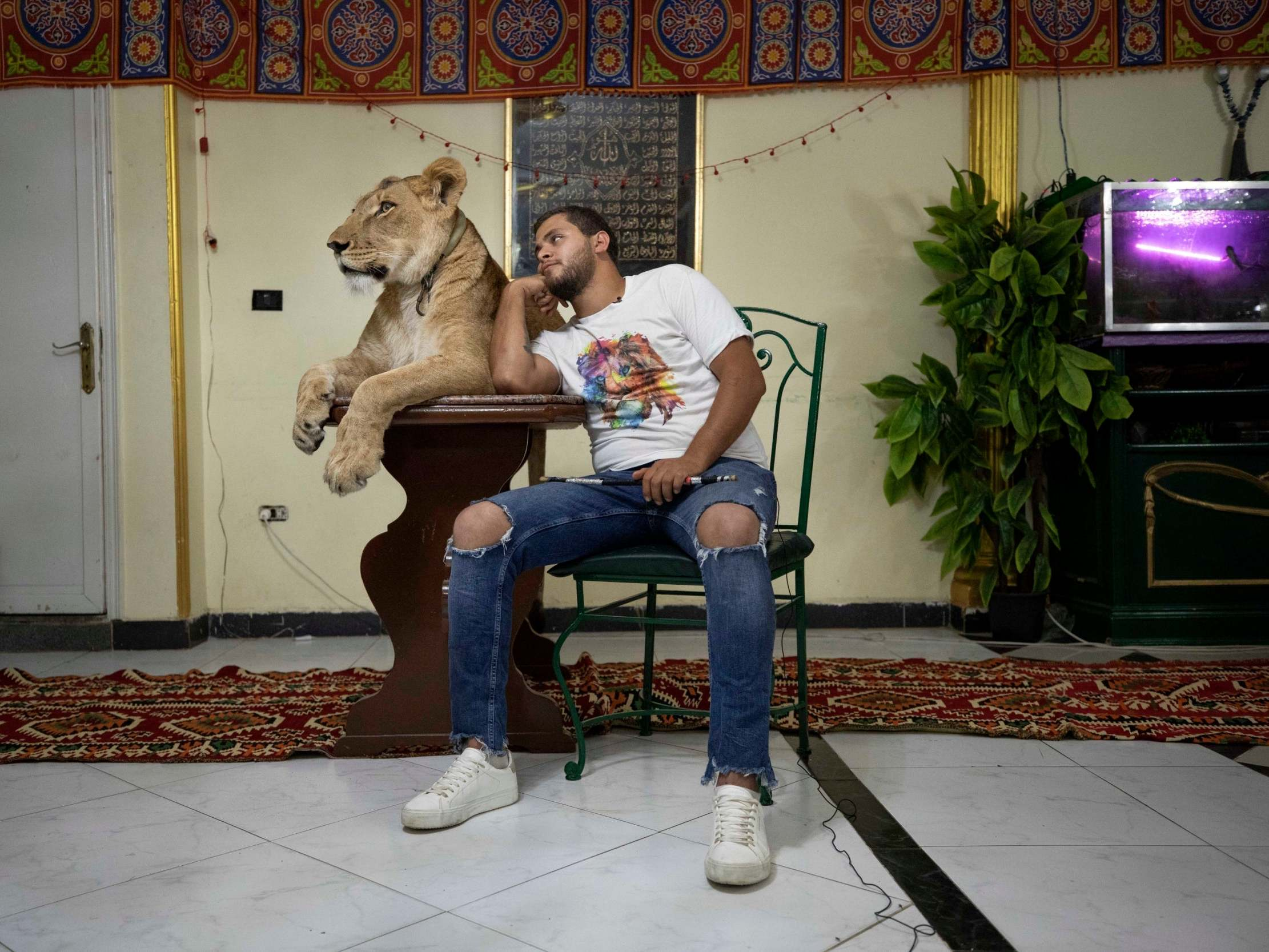 'Irresponsible and foolish': Lion trainer criticised for performing act in flat during Egypt lockdown photo